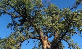 Stejar de 750 de ani din județul Suceava, în cursă pentru titlul de Arborele European al Anului 2018