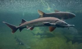 Pescuitul sturionilor, interzis pe o perioadă nedeterminată