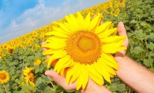MMACA: 560.378 tone seminţe de floare-soarelui, exportate în primele patru luni din 2019