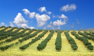 Peste jumătate din livezile de măslini din UE sunt în Spania