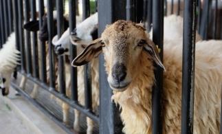 APIA primeşte Cereri iniţiale anuale de solicitare a ajutorului de stat în sectorul creşterii animalelor pentru anul 2021
