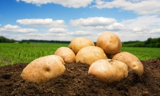România, locul șase în UE la producția de cartofi și patru la suprafața cultivată, în 2020