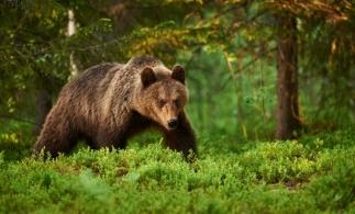 MMAP: Populația de urși din România va fi estimată prin probe ADN