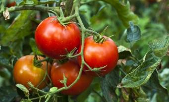 Programul de sprijin pentru cultivatorii de tomate continuă și în 2018