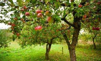 Oficiul European de Statistică: 1,3 milioane de hectare de teren din UE erau cultivate cu pomi fructiferi
