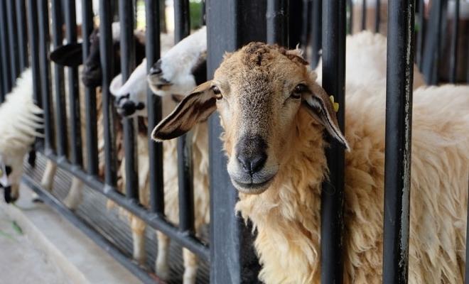 România a exportat aproape 1,1 milioane de animale vii în ţări terţe în 2018