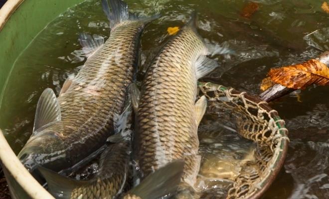 Crapul, cel mai vândut pește românesc, cu circa 10.000 tone comercializate anual pe piața locală