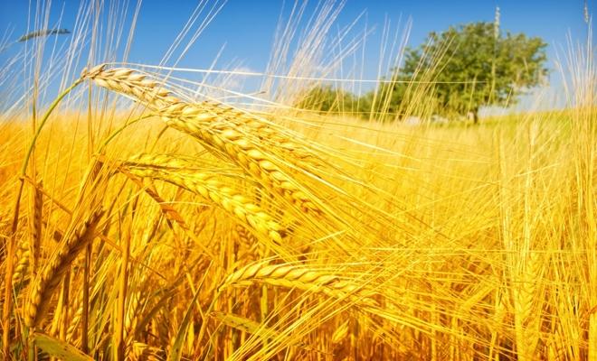 USDA estimează că producţia şi exporturile de cereale ale României vor scădea din cauza secetei