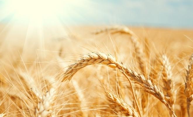 Ministrul Agriculturii: Comisiile de evaluare au constatat pagube produse de secetă pe o suprafaţă totală de 1,3 milioane de hectare