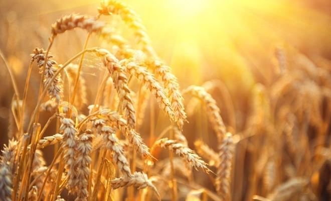 Ministrul Agriculturii: Seceta a afectat 34.647 de fermieri şi 1,168 milioane hectare; cuantumul plăţilor la grâu este de 925 lei/ha